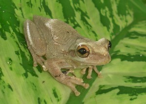 Cuban Tree Frog - Photo by Thomas Brown (creative commons license)