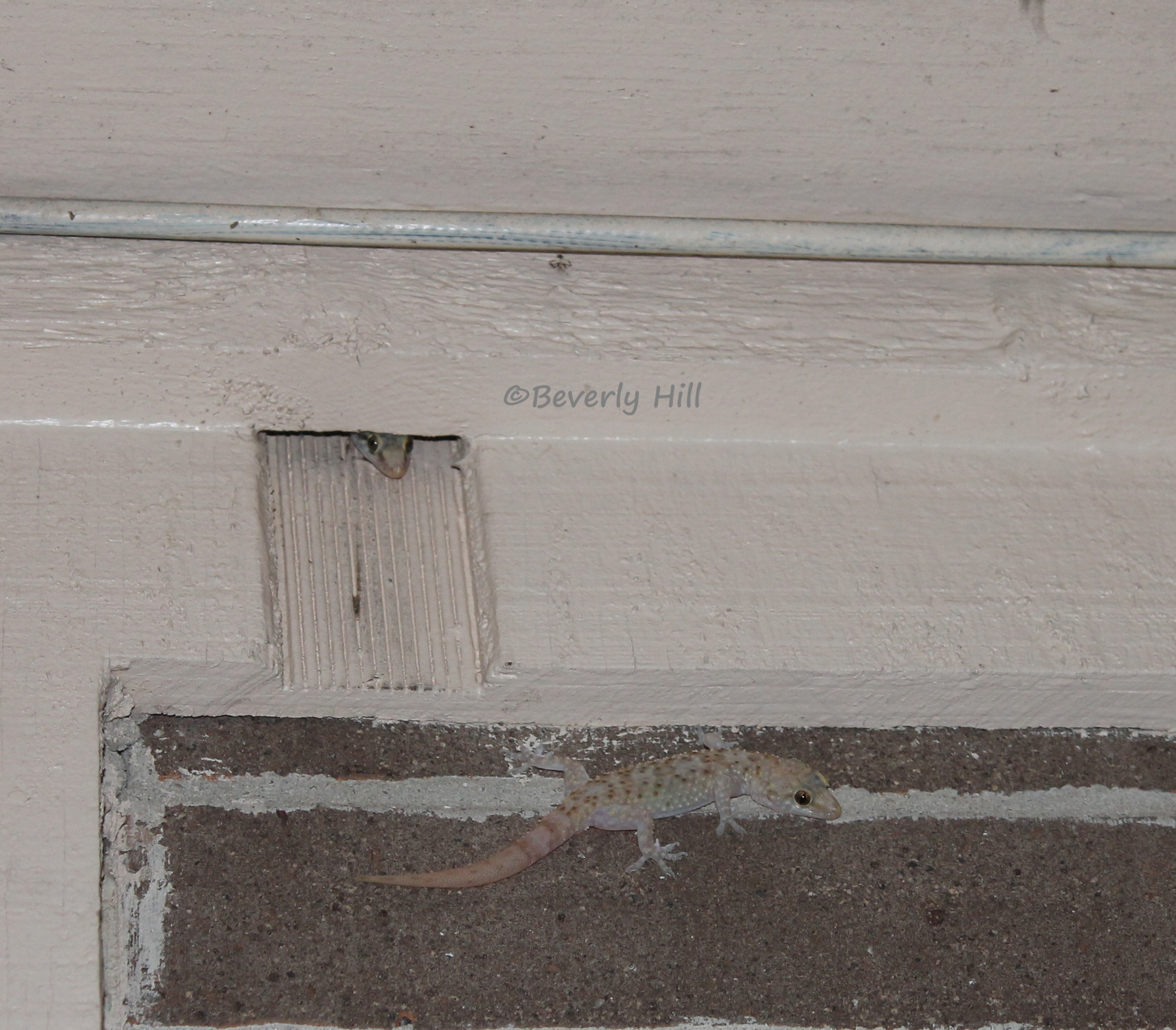 Mediterranean Geckos Urban Geckos Of Florida And The