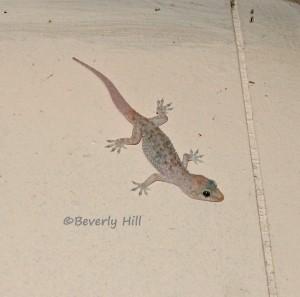 Mediterranean Geckos Urban Geckos Of Florida And The