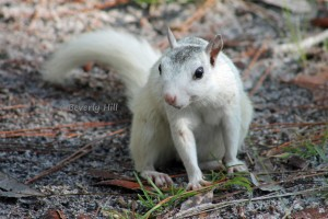 White Squirrel at Ochlockonee
