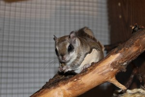 Benji the Southern Flying Squirrel enjoys a snack.