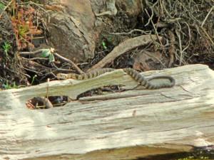 Juvenile banded water snake. Non-venomous.