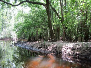 Cypress knees on Alaqua Creek