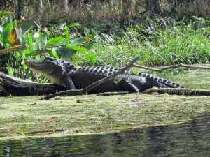Alligator basking on Silver River, Ocala, Florida