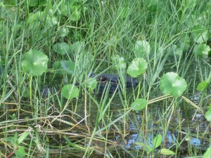 Alligator hidden in the grass. Silver River State Park. Photo by Beverly Hill.
