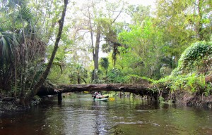A paddler does a limbo under a fallen tree on the Loxahatchee River.