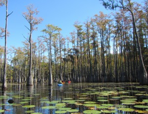 Kayakers navigate the cypress maze on Ocheesee Pond.