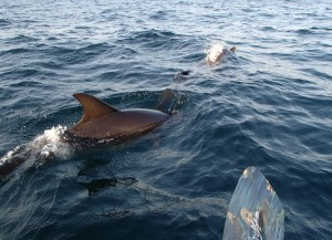 Dolphins next to my kayak.