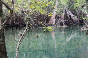 Epiphytes hanging above Manatee Spring run.