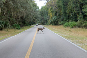 Deer crossing at Manatee Springs State Part