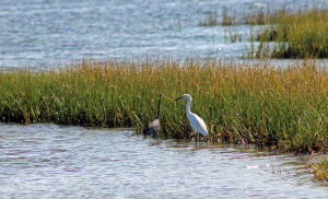 Heron and Egret search for food in the salt marsh.