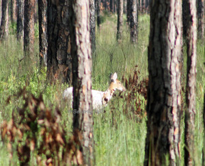 Piebald Whitetail deer at Ochlockonee River State Park