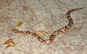 Southern Copperhhead (venomous)
