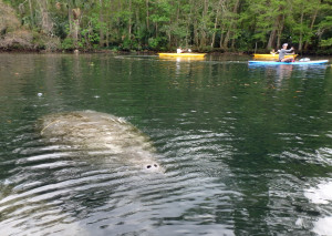 Mother Manatee and calf on the Chassahowitzka River