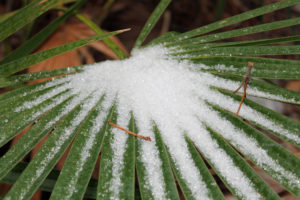 Ice crystals on a Saw Palmetto