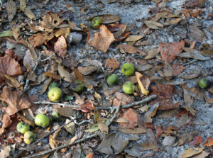 Pond Apples?